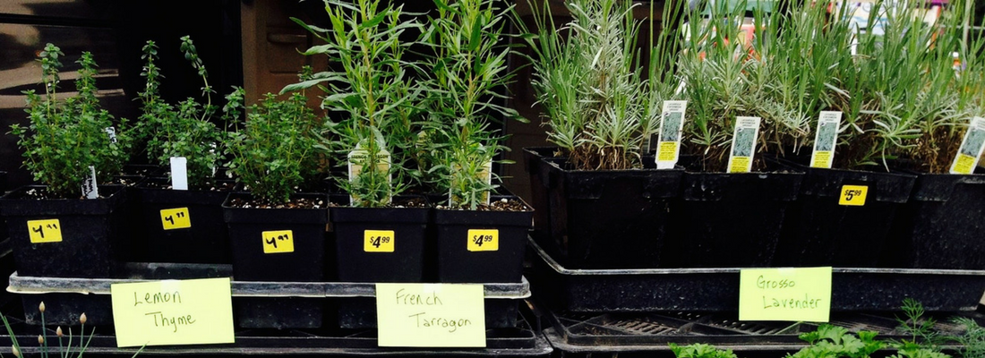 Herb Spring Transplants